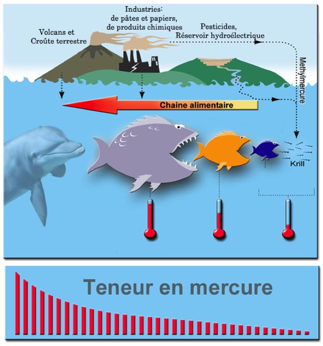 Bioamplification de la teneur en mercure dans la chaine alimentaire