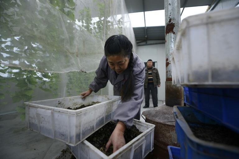 """Hu Rong, la gérante de cet élevage de larves de la """"mouche soldat noire"""", originaire du continent américain © AFP/Archives"""