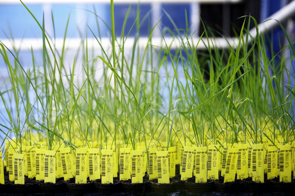 Plants de riz modifiés génétiquement. © BASF