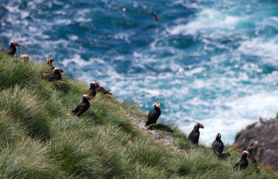 Macareux sur les îles Scott, Colombie Britannique © SNAP BC