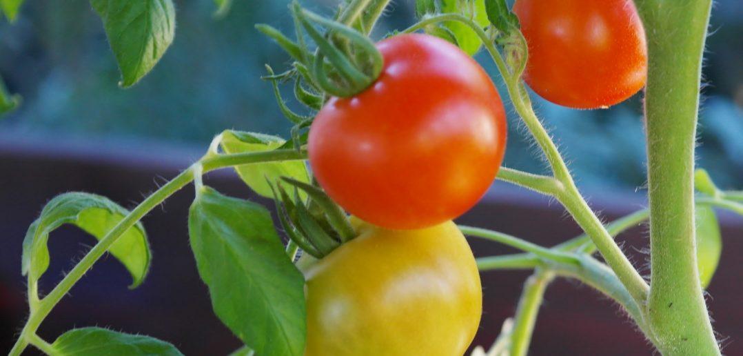 bush-tomatoes-876963_1920