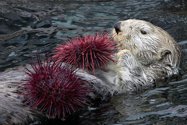 Loutre de mer mangeant des oursins © NOAA