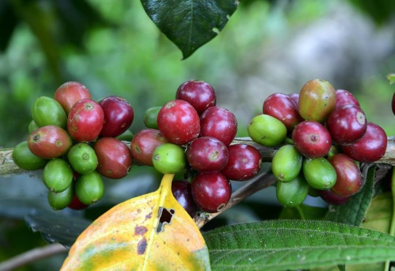AFP/Archives / CRIS BOURONCLE Des grains de café bio prêts à être récoltés, le 28 juin 2017 à Satipo au Pérou
