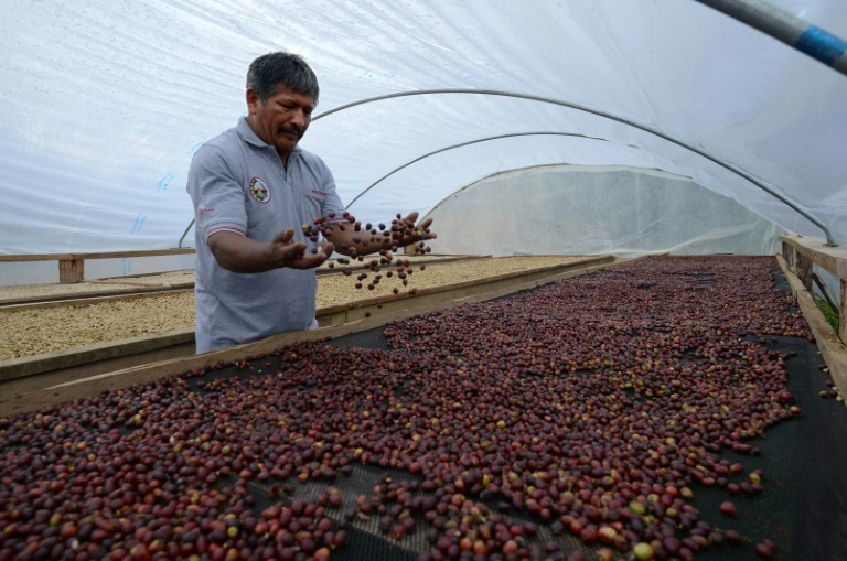 AFP/Archives / CRIS BOURONCLEJavier Sedano, producteur de café de Satipo au Pérou, le 28 juin 2017