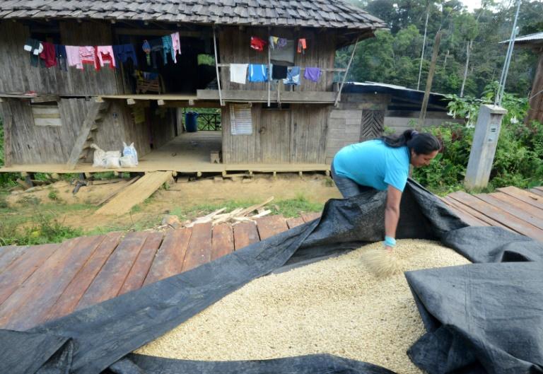 AFP/Archives / CRIS BOURONCLERosa Vera, la femme de Javier Sedano, producteur de café de Satipo au Pérou, couvre des grains de café pour les protéger de la pluie, le 28 juin 2017