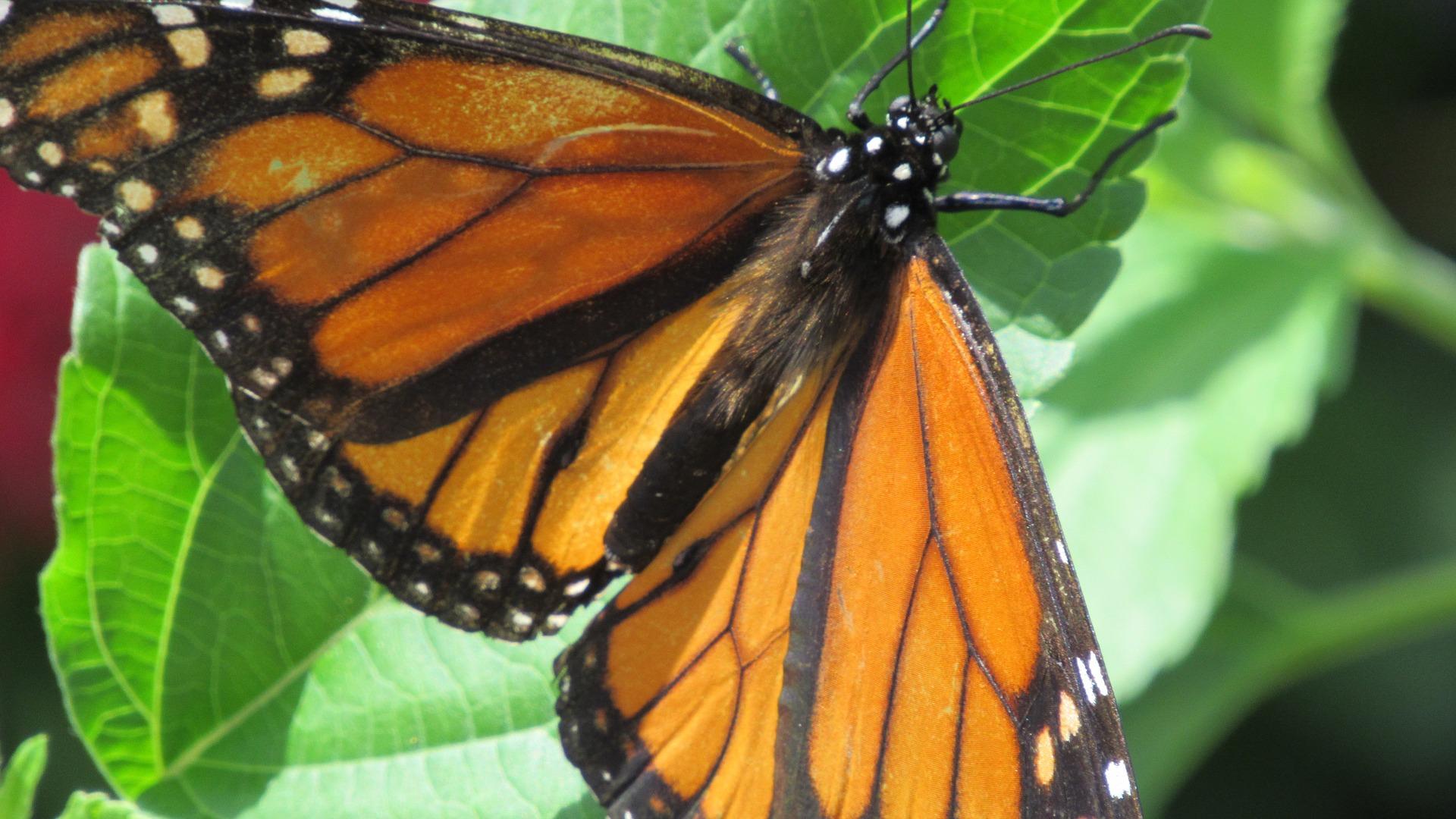 monarch-butterfly-2305772_1920